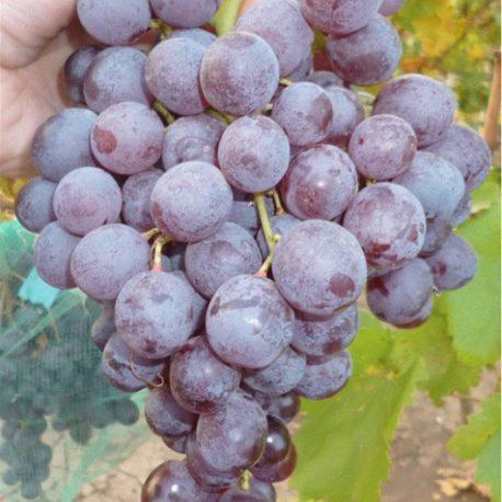Виноград кишмиш реджина