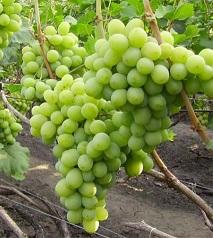 Виноград Подарок Запорожья