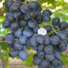 Сорт винограда Шарада