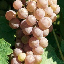 Сорт винограда Совиньон гри