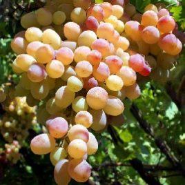 Сорт винограда Лия