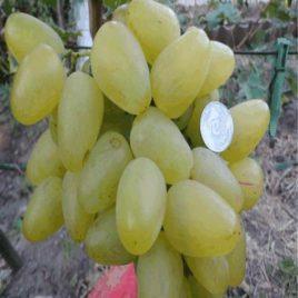 Виноград БОЖЕНА