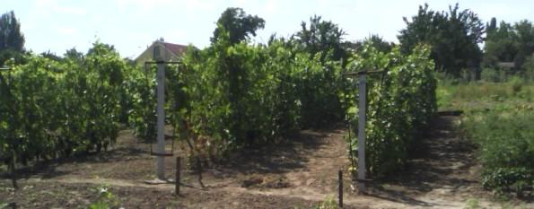 Расположение рядов виноградника
