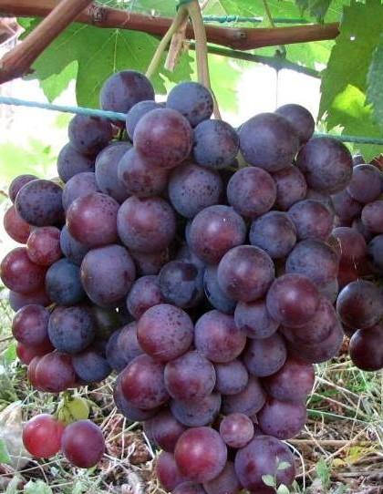 Сорт винограда Фараон