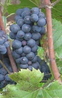 Сорт винограда Леон мийо