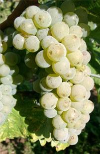 Виноград совиньон белый