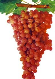 Сорт винограда Октябрьский