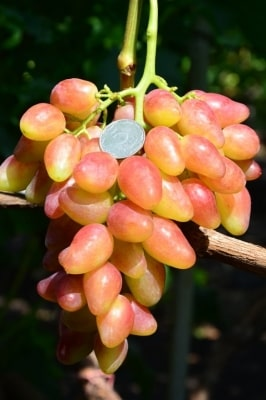 Виноград Криптон